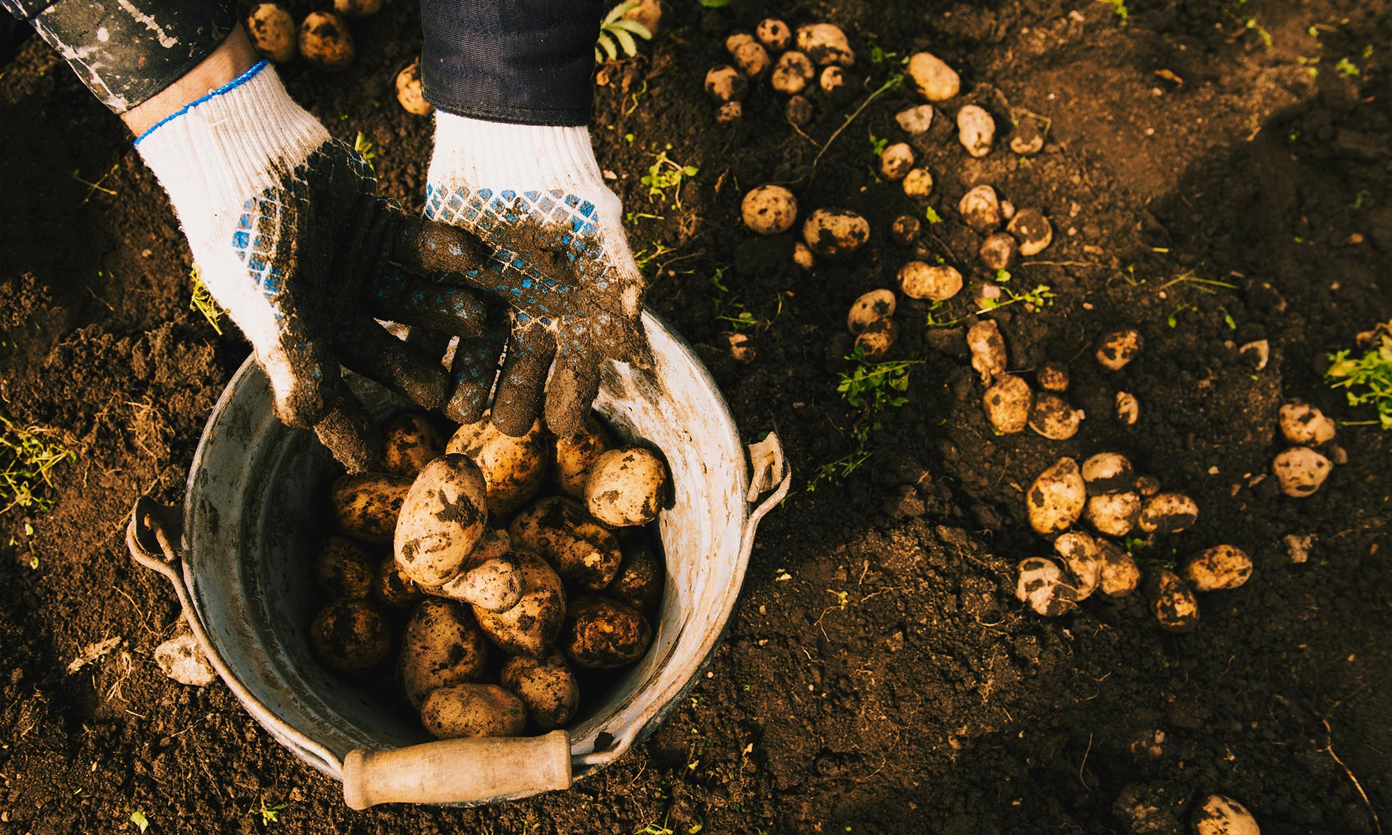 Gardener harvesting potatoes.